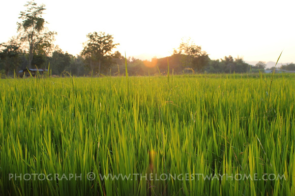 Rice Padi Sunset in Sukhothai