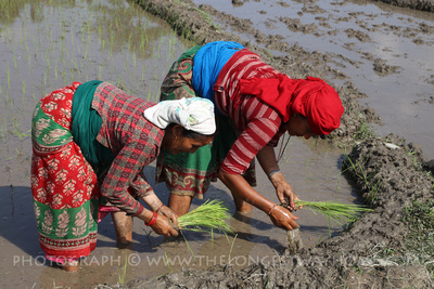 Women planting rice in Nepal