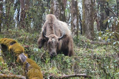 Yak grazing on a trek during Spring in Nepal