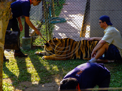 Tourist petting a tiger in Thailand
