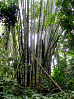 Clump of Tall Bamboo in Bukidnon