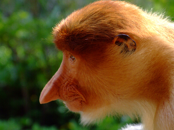 Profile of a Proboscis Monkey
