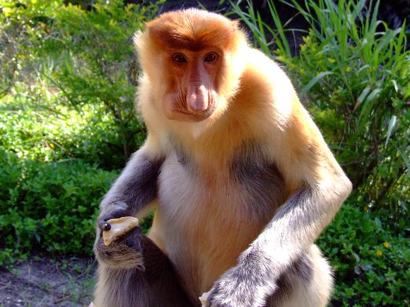 Proboscis Monkeys in a Group
