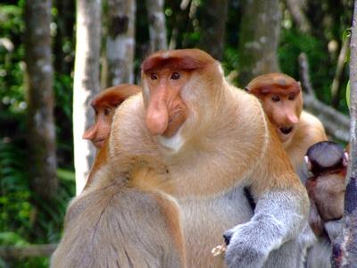 Male proboscis monkeys