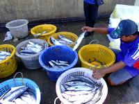 Buckets of fish at Sandakan Market Malaysia