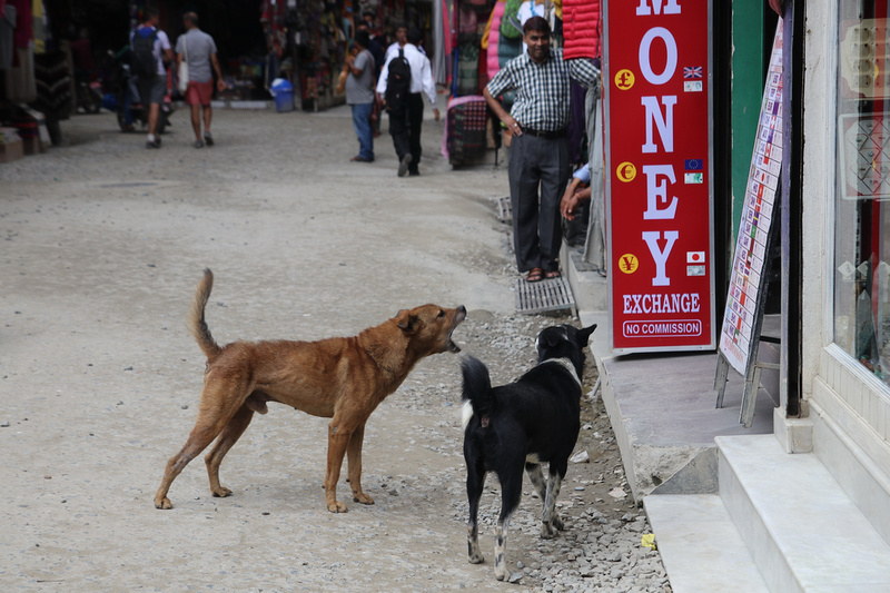 Street dogs fighting in Thamel