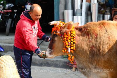 A man feeding a cow during Gai Jatra