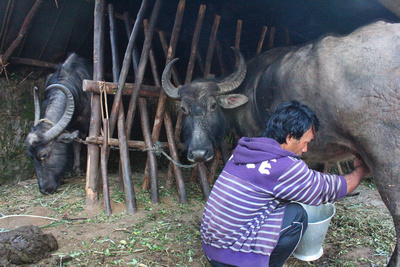 Milking Buffalo at Forest Camp