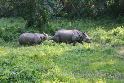 One-horned Rhino in Chitwan, Nepal