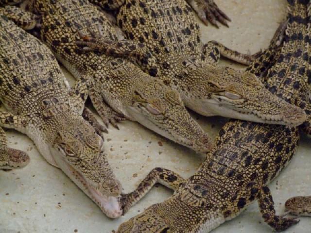 Sleeping baby crocodiles (click to enlarge)