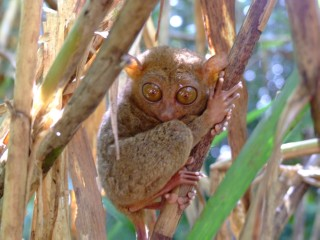 Curious tarsier looks a photographer up and down