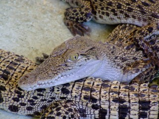 Baby crocodiles watching you