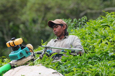 Modern day tea leaf picker in Malaysia