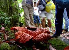 Standing around Rafflesia schadenbergiana