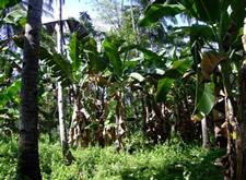 Coconut grove in Mindanao