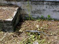 Lizard in Kota Kinabalu